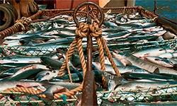 Депутаты предлагают приостановить экспорт рыбы